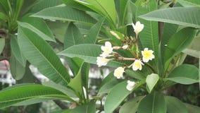 Άσπρα λουλούδια στο δέντρο στη Μπανγκόκ απόθεμα βίντεο
