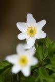 Άσπρα λουλούδια στο λιβάδι Στοκ Εικόνα