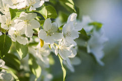 Άσπρα λουλούδια την άνοιξη Στοκ Φωτογραφία