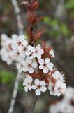 Άσπρα λουλούδια την άνοιξη Στοκ Εικόνες