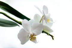 Άσπρα λουλούδια της ορχιδέας Στοκ Φωτογραφίες