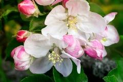 Άσπρα λουλούδια του άνθους της Apple στον κήπο Στοκ Εικόνες