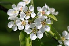 Άσπρα λουλούδια του δέντρου της Apple στην άνοιξη Στοκ Φωτογραφία