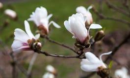 Άσπρα λουλούδια του δέντρου magnolia την πρώιμη άνοιξη Στοκ Φωτογραφία