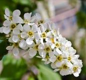 Άσπρα λουλούδια του κερασιού πουλιών στοκ φωτογραφία με δικαίωμα ελεύθερης χρήσης