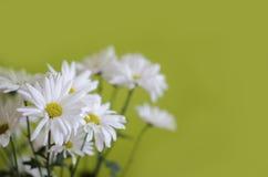 Άσπρα λουλούδια του χρυσάνθεμου Στοκ Εικόνα