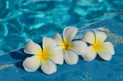 Frangipani (plumeria) στην πισίνα Στοκ φωτογραφία με δικαίωμα ελεύθερης χρήσης