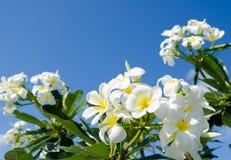 Plumeria, frangipani Στοκ εικόνα με δικαίωμα ελεύθερης χρήσης
