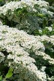 Άσπρα λουλούδια του spiraea Στοκ φωτογραφίες με δικαίωμα ελεύθερης χρήσης