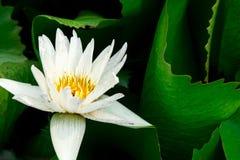 Άσπρα λουλούδια χρώματος λωτού στη λίμνη Στοκ φωτογραφίες με δικαίωμα ελεύθερης χρήσης