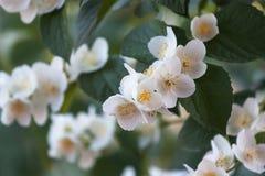 Άσπρα λουλούδια στοκ εικόνες