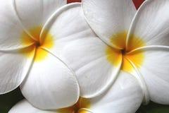 Άσπρα λουλούδια - acutifolia Plumeria - μακροεντολή Στοκ Φωτογραφίες