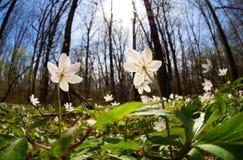 Άσπρα λουλούδια anemone στην ανατολή στο δάσος Στοκ εικόνα με δικαίωμα ελεύθερης χρήσης