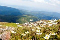Άσπρα λουλούδια anemone Στοκ Εικόνες