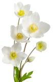 Άσπρα λουλούδια anemone Στοκ φωτογραφία με δικαίωμα ελεύθερης χρήσης
