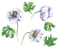 Άσπρα λουλούδια anemone ελεύθερη απεικόνιση δικαιώματος