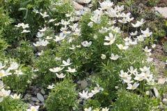 Άσπρα λουλούδια anemone Snowdrop ή sylvestris Anemone Στοκ Φωτογραφία