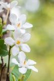 Άσπρα λουλούδια, antidysenterica Wrightia, στρόβιλος κοραλλιών Στοκ εικόνα με δικαίωμα ελεύθερης χρήσης