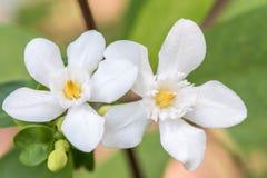Άσπρα λουλούδια, antidysenterica Wrightia, στρόβιλος κοραλλιών Στοκ Εικόνα