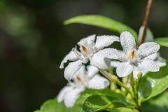 Άσπρα λουλούδια, antidysenterica Wrightia, στρόβιλος κοραλλιών Στοκ Φωτογραφία