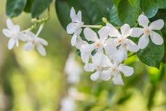 Άσπρα λουλούδια, antidysenterica Wrightia, στρόβιλος κοραλλιών Στοκ φωτογραφία με δικαίωμα ελεύθερης χρήσης
