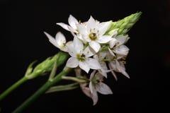 Άσπρα λουλούδια Arabicum Στοκ φωτογραφίες με δικαίωμα ελεύθερης χρήσης