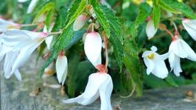 Άσπρα λουλούδια bluebells στον κήπο απόθεμα βίντεο