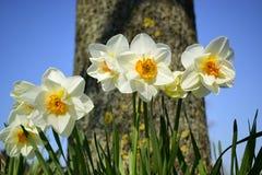 Άσπρα λουλούδια daffodil που ανθίζουν την άνοιξη Στοκ εικόνα με δικαίωμα ελεύθερης χρήσης