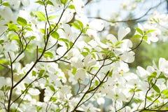 Άσπρα λουλούδια dogwood Στοκ Εικόνα