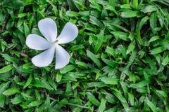 Άσπρα λουλούδια Frangipani ή Plumeria, άνω πλευρά - κάτω στη χλόη Στοκ Φωτογραφίες