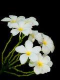 Άσπρα λουλούδια Frangipani Στοκ φωτογραφία με δικαίωμα ελεύθερης χρήσης