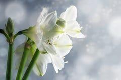 Άσπρα λουλούδια Hippeastrum amaryllis ενάντια σε μια χιονώδη χειμερινή ΤΣΕ Στοκ Εικόνες