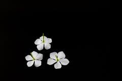 Άσπρα λουλούδια Jamin Στοκ εικόνες με δικαίωμα ελεύθερης χρήσης