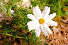 Άσπρα λουλούδια Kosmeya Στοκ φωτογραφία με δικαίωμα ελεύθερης χρήσης
