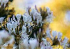Άσπρα λουλούδια Lonicera Στοκ Εικόνες