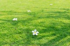 Άσπρα λουλούδια plumeria, ένα τροπικό άνθος στην πράσινη χλόη Στοκ Εικόνες