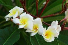 άσπρα λουλούδια Plumeria ή Frangipani άνθος του τροπικού δέντρου Στοκ Φωτογραφίες