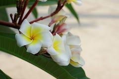 άσπρα λουλούδια Plumeria ή Frangipani άνθος του τροπικού δέντρου Στοκ εικόνα με δικαίωμα ελεύθερης χρήσης