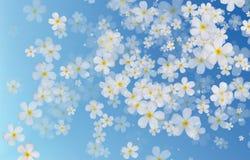 Άσπρα λουλούδια Plumeria ή Frangipani στην μπλε πλάτη χρώματος κλίσης Στοκ Εικόνα