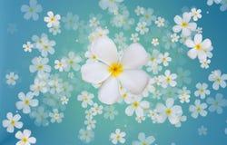 Άσπρα λουλούδια Plumeria ή Frangipani στην μπλε πλάτη χρώματος κλίσης Στοκ εικόνες με δικαίωμα ελεύθερης χρήσης