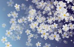 Άσπρα λουλούδια Plumeria ή Frangipani στην μπλε πλάτη χρώματος κλίσης Στοκ φωτογραφία με δικαίωμα ελεύθερης χρήσης