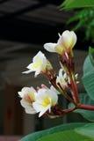 άσπρα λουλούδια Plumeria ή Frangipani Στοκ εικόνα με δικαίωμα ελεύθερης χρήσης