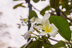 άσπρα λουλούδια Plumeria ή Frangipani Στοκ φωτογραφίες με δικαίωμα ελεύθερης χρήσης