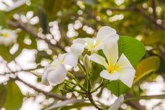 άσπρα λουλούδια Plumeria ή Frangipani Στοκ Φωτογραφίες