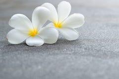 Άσπρα λουλούδια plumeria ή frangipanis Στοκ φωτογραφίες με δικαίωμα ελεύθερης χρήσης