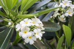 Άσπρα λουλούδια Plumeria με το φύλλο στο δέντρο Στοκ εικόνες με δικαίωμα ελεύθερης χρήσης