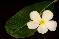 Άσπρα λουλούδια Plumeria με το φύλλο Στοκ φωτογραφία με δικαίωμα ελεύθερης χρήσης