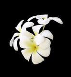 Άσπρα λουλούδια Plumeria που απομονώνονται Στοκ εικόνες με δικαίωμα ελεύθερης χρήσης