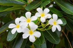 Άσπρα λουλούδια plumeria στο δέντρο μετά από τη βροχή Στοκ Εικόνες