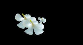 Άσπρα λουλούδια Plumeria στο μαύρο υπόβαθρο Στοκ Εικόνα